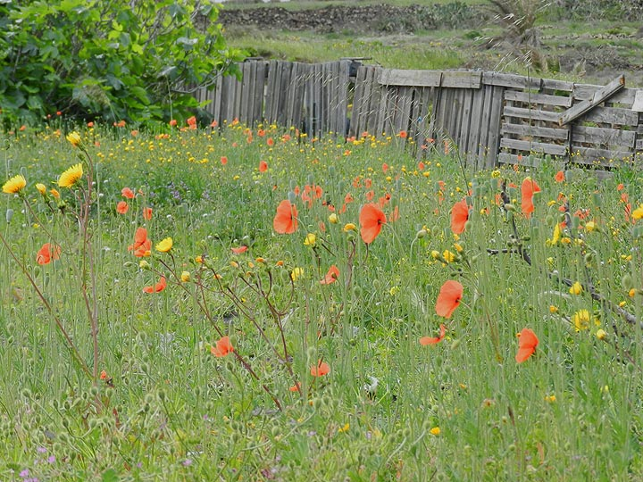 Wilder Mohn in den Wiesen